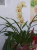 Orquidea Cymbidium 1 Haste