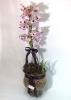 Orquidea Dendrobium Lilas